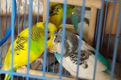 australian-parakeet