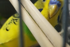papoy-yellow-budgie