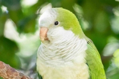 quacker-parakeet