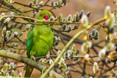 small-parrot