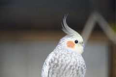 small-white-parrot