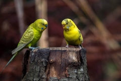 two-yellow-budgies