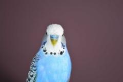 white-blue-budgie