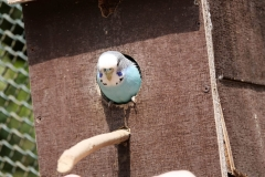white-small-budgie
