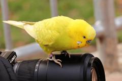 yellow-budgie