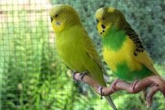 yellow-budgies
