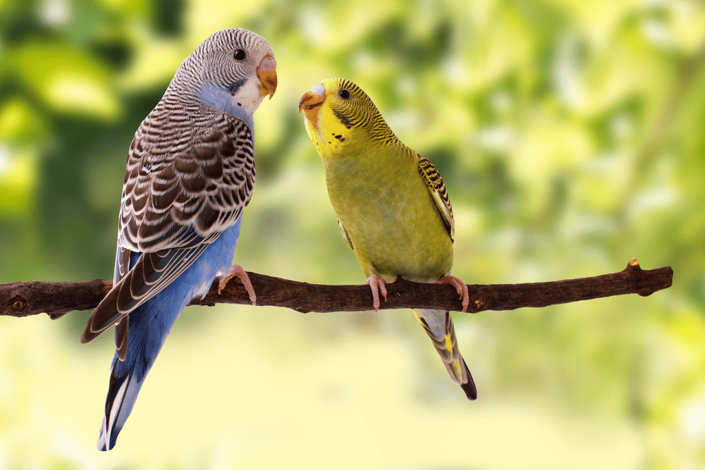 Two budgies on a branch.