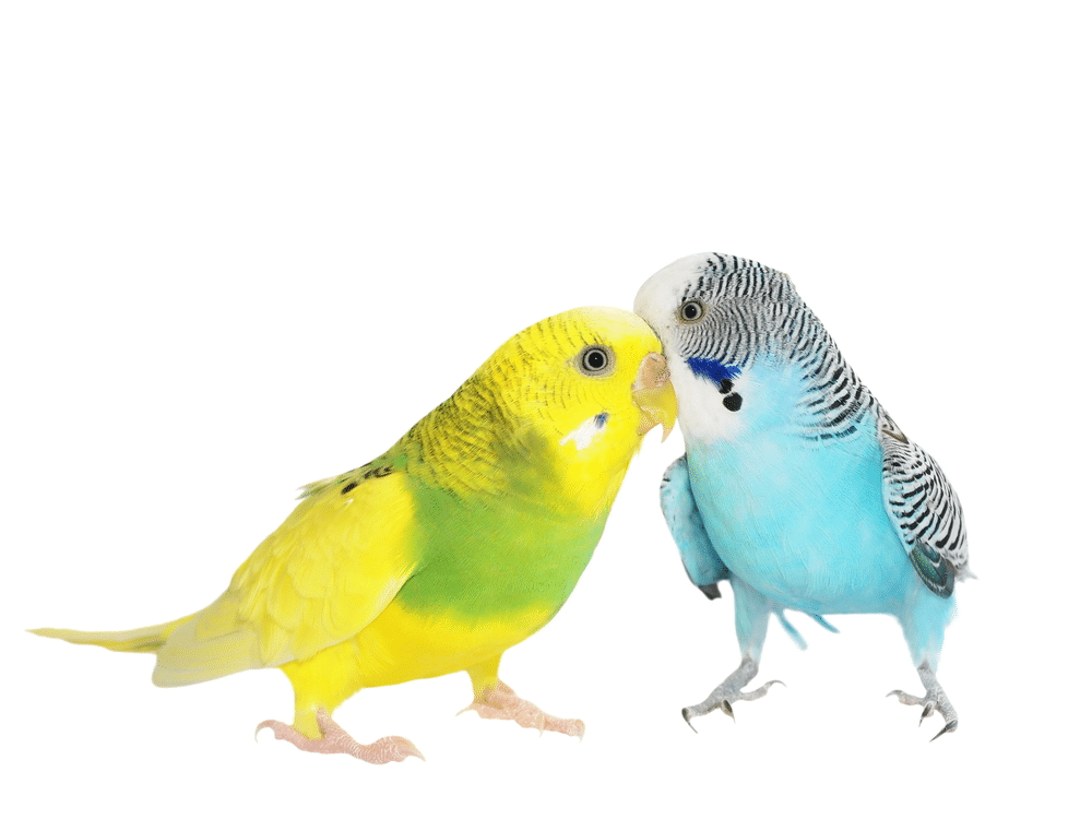 Yellow and blue budgerigar.