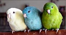 Barred Parakeets