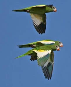 Brotogeris Parakeets