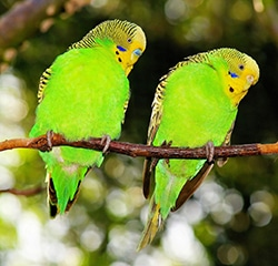 Two budgies sitting on a branch.