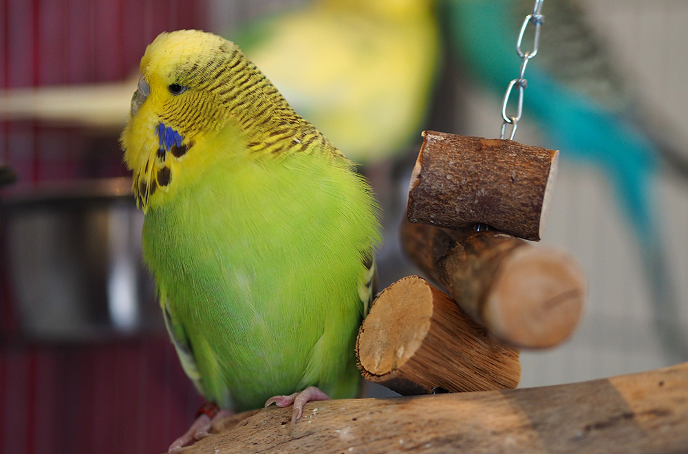 How to take care of a budgie