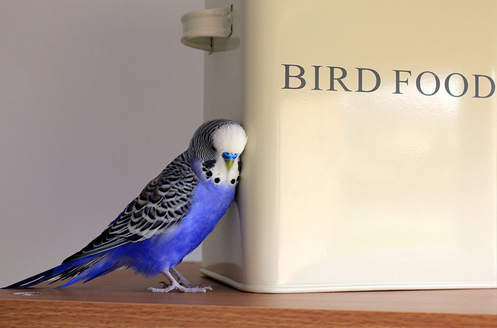 Budgies diet and everything you need to know