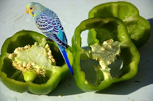 A budgie eating healthy vegetables