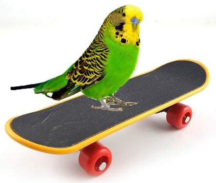 Budgerigar on a skateboard