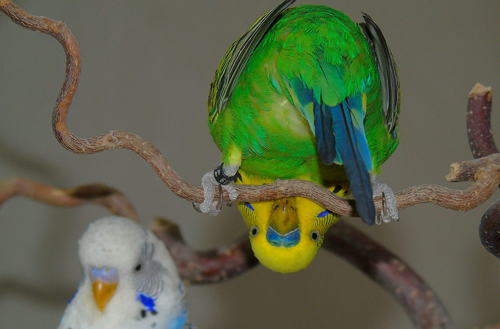 Funny budgie sitting upside down