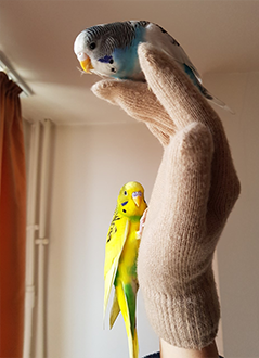 Male and female baby budgie. Identify budgie by cere's color