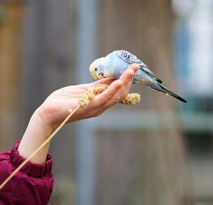 Hand feeding budgies