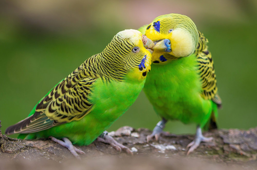 How to identify the gender of a budgie