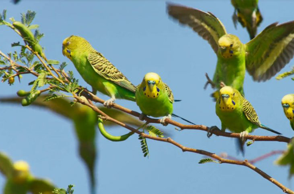 Top 8 tips on taming wild budgies