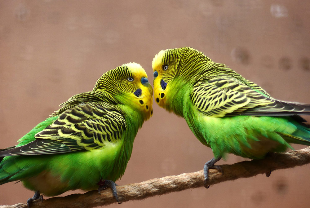 Breeding budgies and everything you need to know
