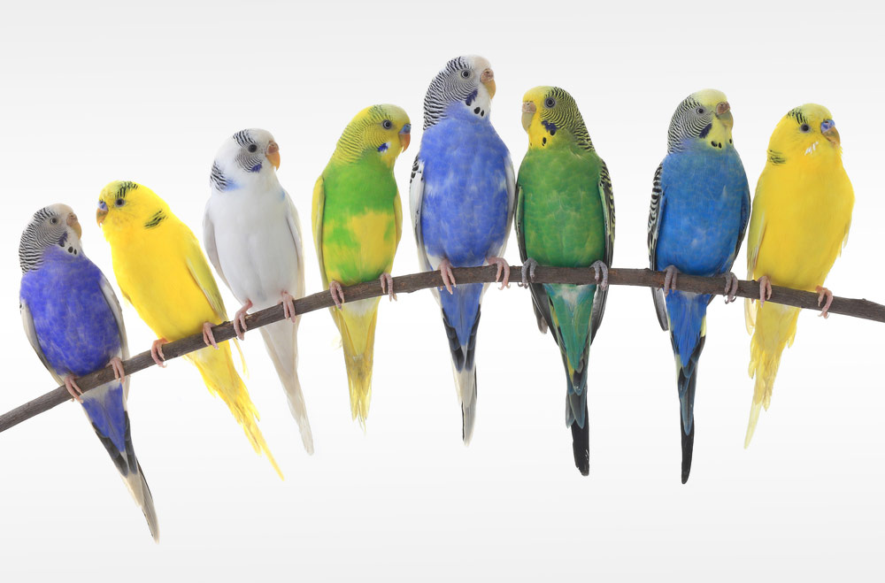 Budgie colors and their diversity