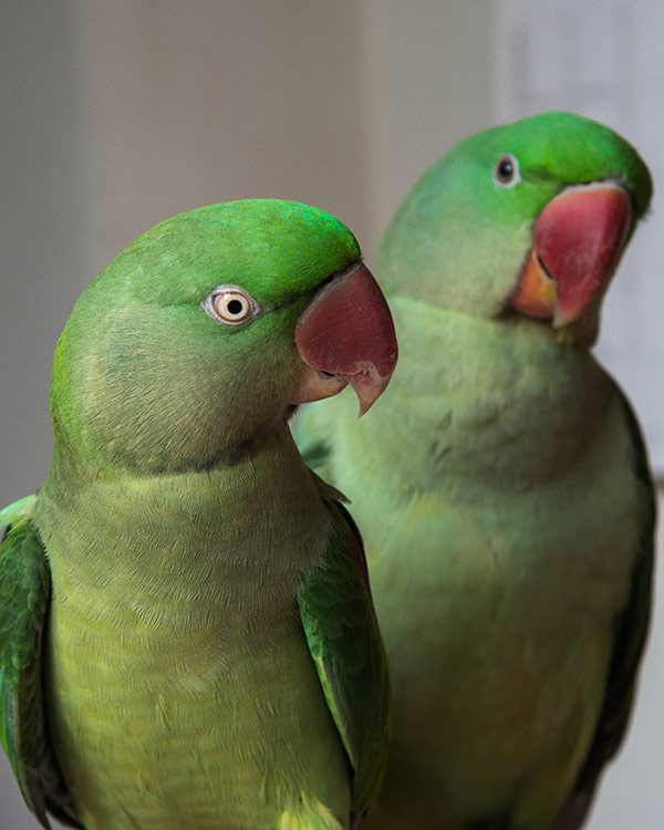 Two Alexandrine parakeets