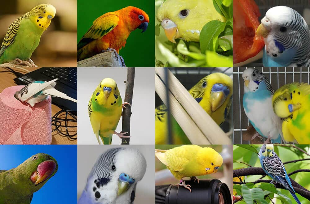 Budgerigar colors and their variety (Photo album)