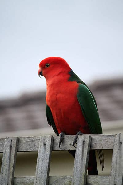Australian king parrot sitting on a fence.
