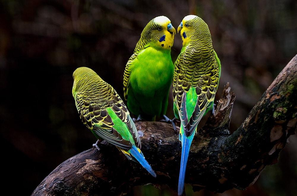 Australian Parakeet | The happiness bringer