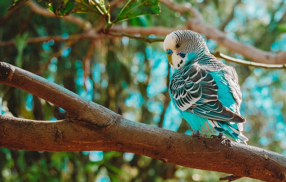 Blue and white Australian parakeet.