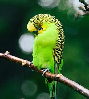 Yellow Australian parakeet