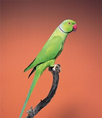 Indian ring necked parrot sitting on a branch
