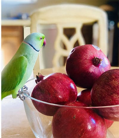 Indian ring-necked parakeet sitting on a bowl of fruits.