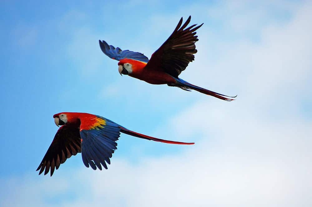 Two makaw parrots in wild.