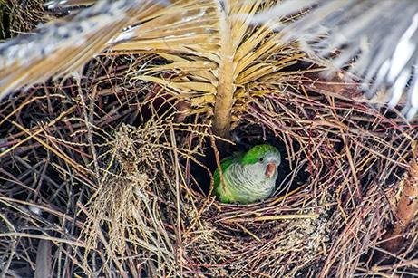 Monk parakeets nest