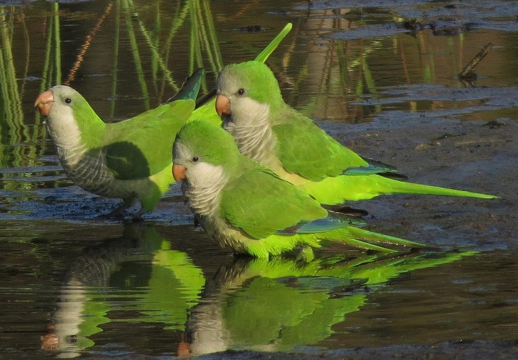 Monk parakeets in wildness