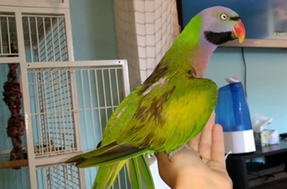 Moustached parakeet standing on hand.
