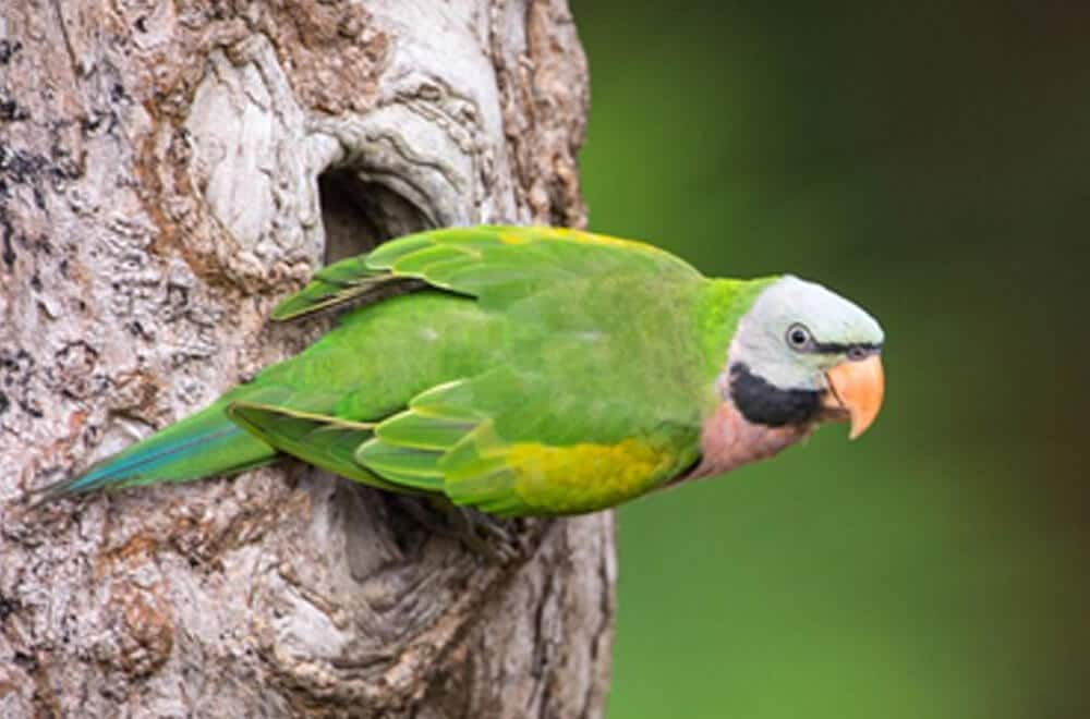 A monk parakeet sitting on a tree.