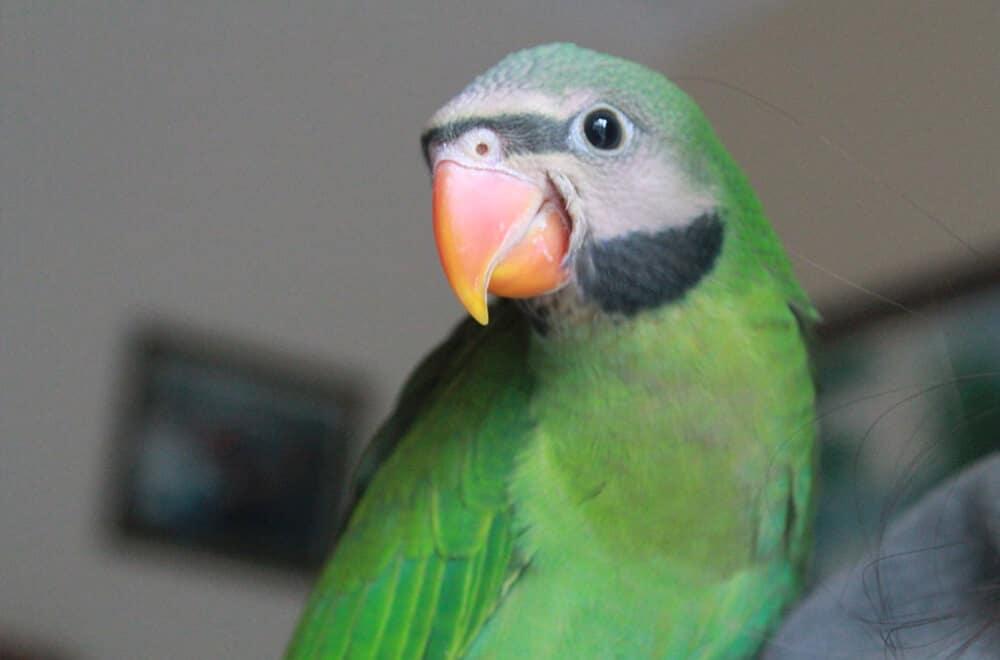 The Moustache Parakeet: Meet this clever pet parrot