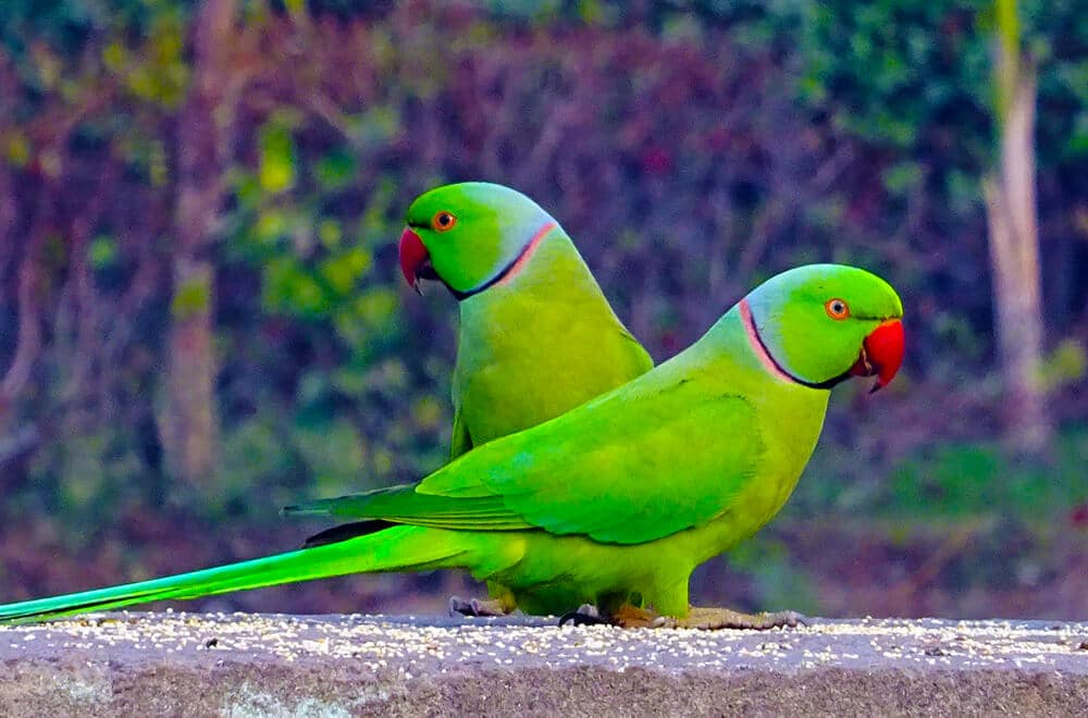 Indian Ringneck Parakeet | The notorious talker