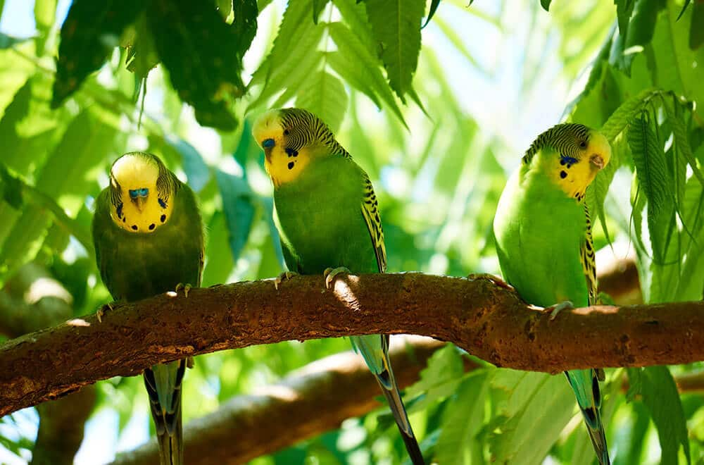 Lovely parakeet sounds and singing (Video gallery)