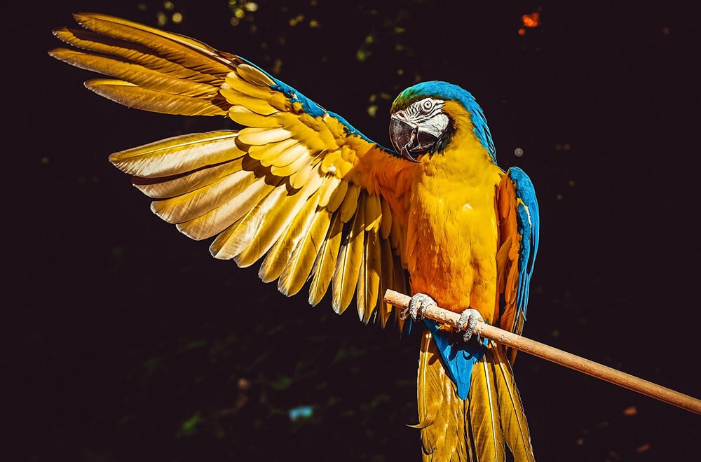 The Macaw Parrot | The long-tailed beauty