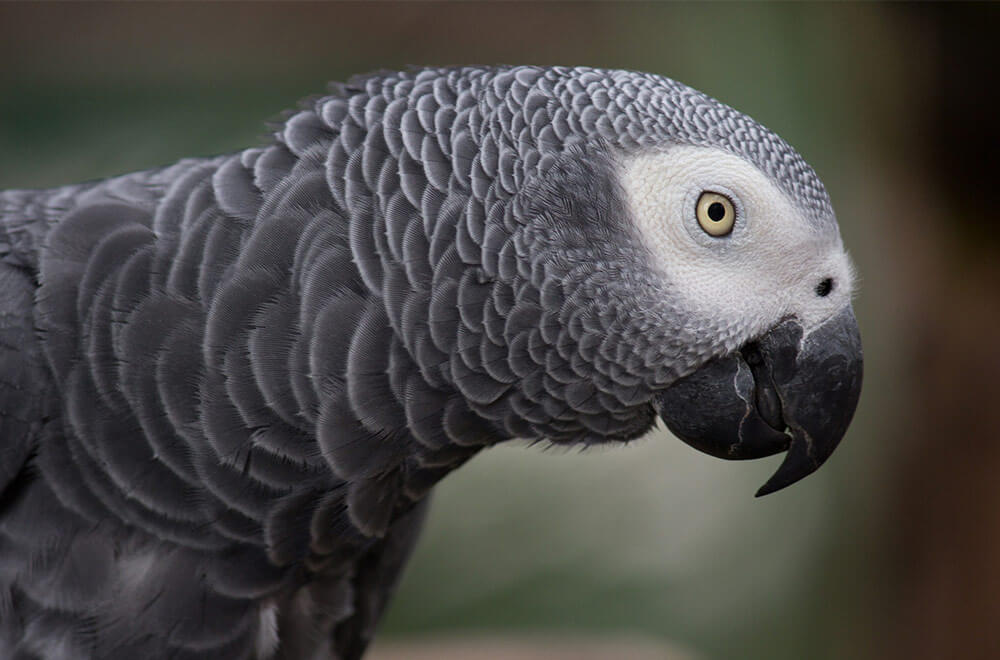 African Grey Parrot – Psittacus erithacus