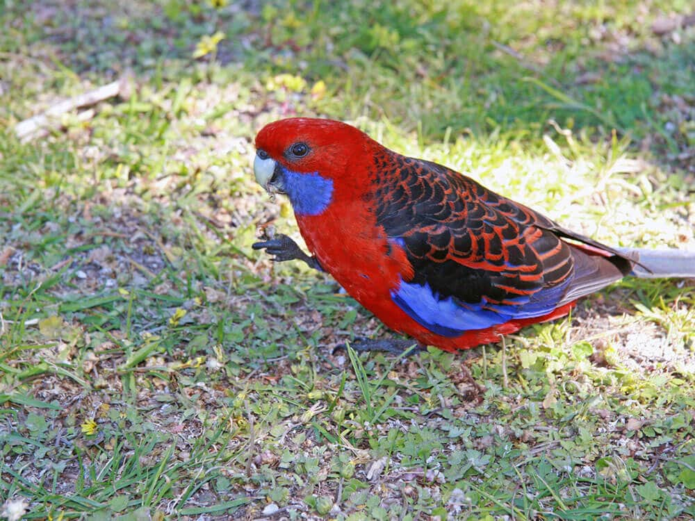 Red and blue Crimson Rosella.