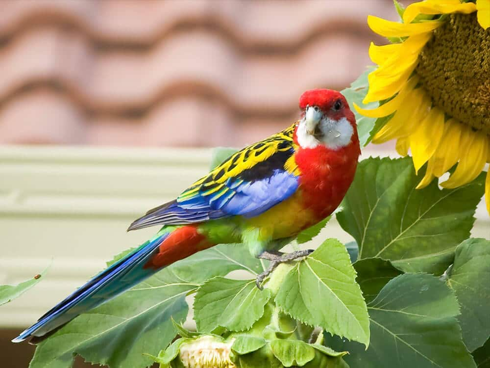 Eastern Rosella eating sun-flower seeds.