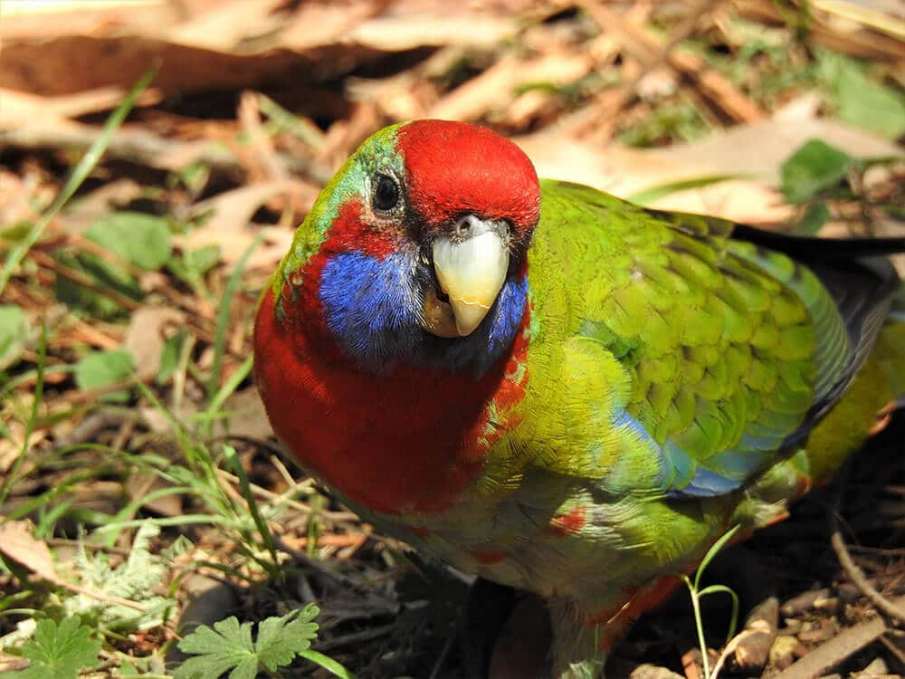 A colorful Rosella.
