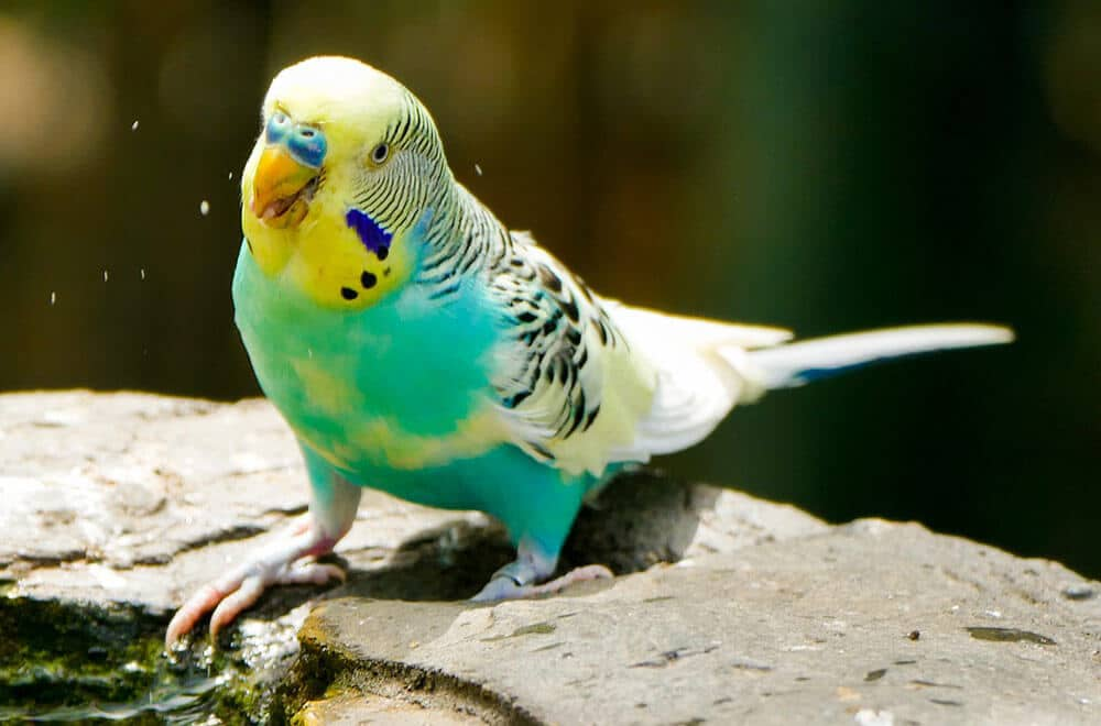 Seven ways to keep your budgie happy