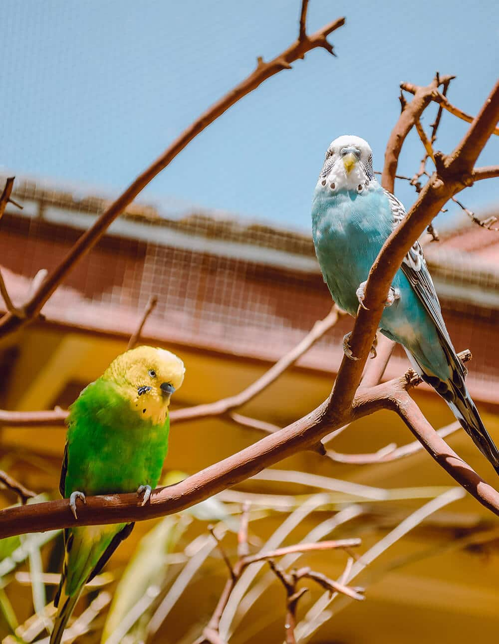 Two budgie. One yellow and the other one blue. Both stay on a branch and look's happy.