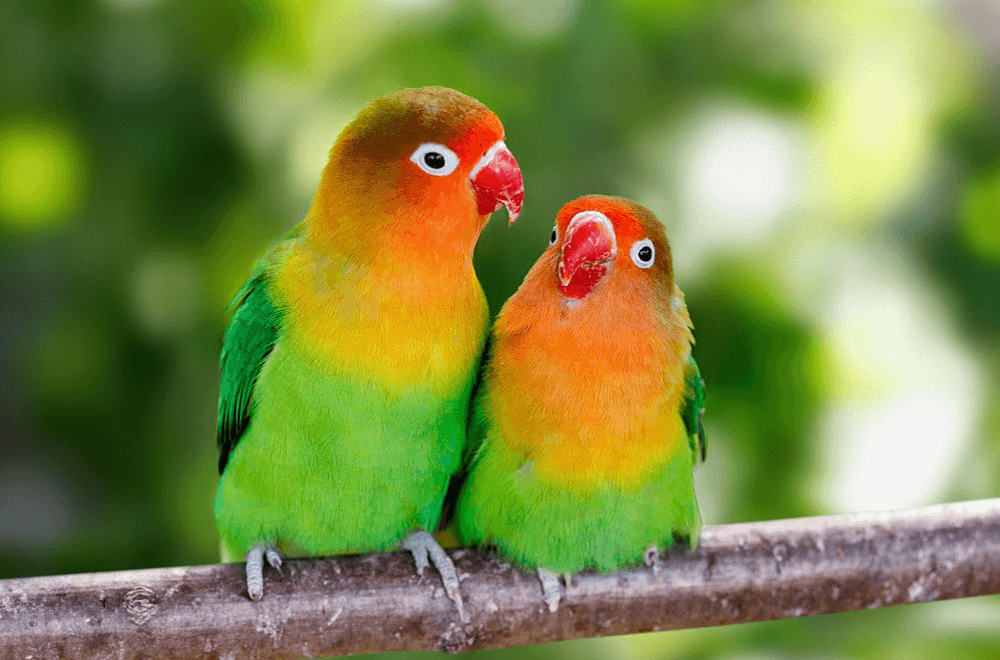 Lovebird with reddish feathers on head.